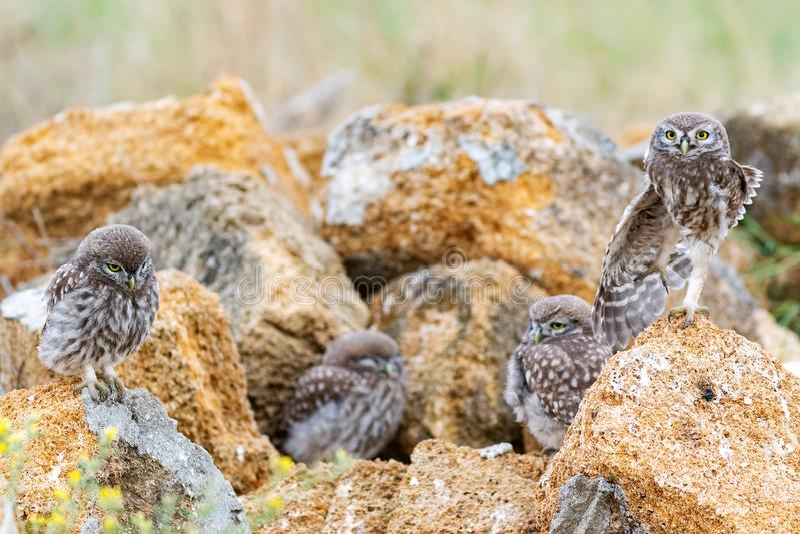 Τέσσερις νεολαίες λίγο noctua Athene κουκουβαγιών που στέκεται σε μια πέτρα κοντά στα λαγούμια τους στοκ φωτογραφία