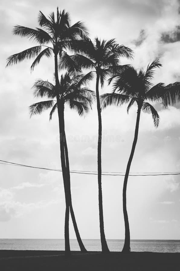 Τέσσερις φοίνικες που ευθυγραμμίζονται και που διασχίζονται από τα ηλεκτρικά καλώδια στη Χαβάη, στοκ εικόνες