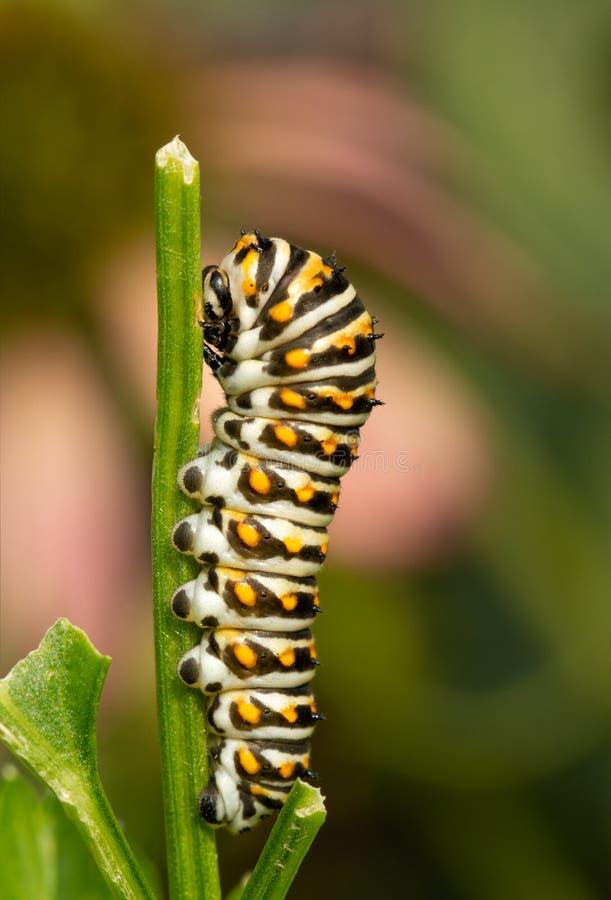Τέταρτος instar της ανατολικής μαύρης κάμπιας πεταλούδων Swallowtail σε έναν μίσχο μαϊντανού στοκ φωτογραφίες