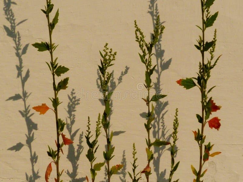 Τέχνη-όπως την αφηρημένη άποψη του πράσινου ζιζανίου και του άσπρου τοίχου με τις σκιές στοκ φωτογραφία με δικαίωμα ελεύθερης χρήσης
