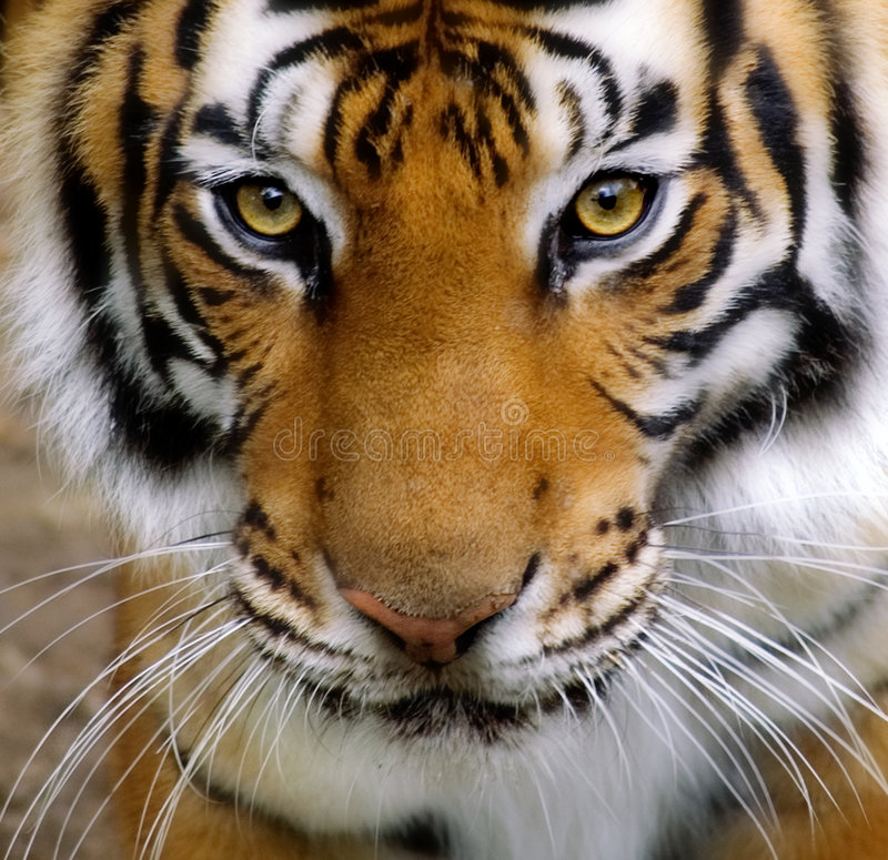 τίγρες προσώπου στοκ εικόνα με δικαίωμα ελεύθερης χρήσης