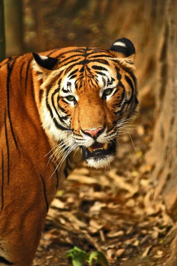 τίγρες στοκ φωτογραφίες