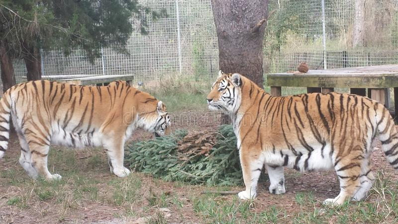 τίγρες στοκ φωτογραφία με δικαίωμα ελεύθερης χρήσης