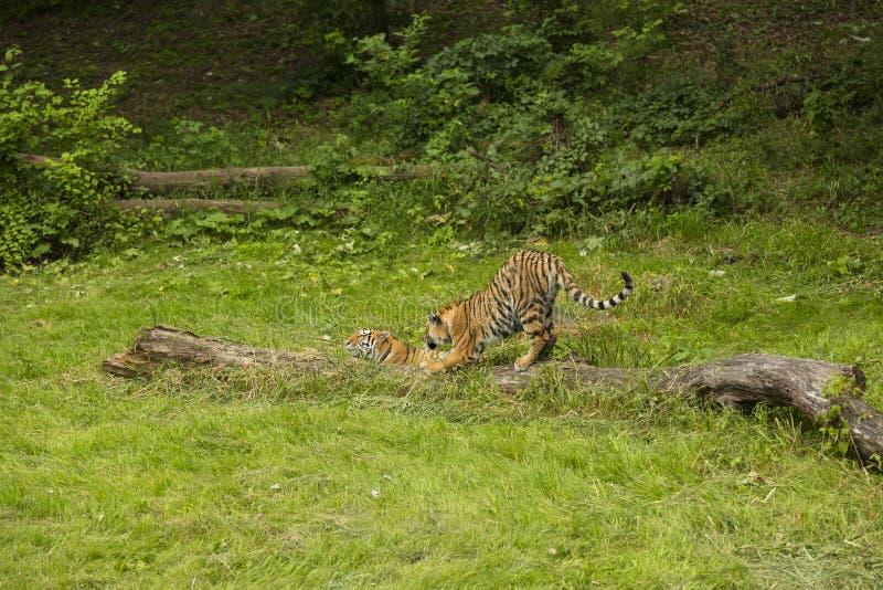 Τίγρες Amur στοκ εικόνα με δικαίωμα ελεύθερης χρήσης