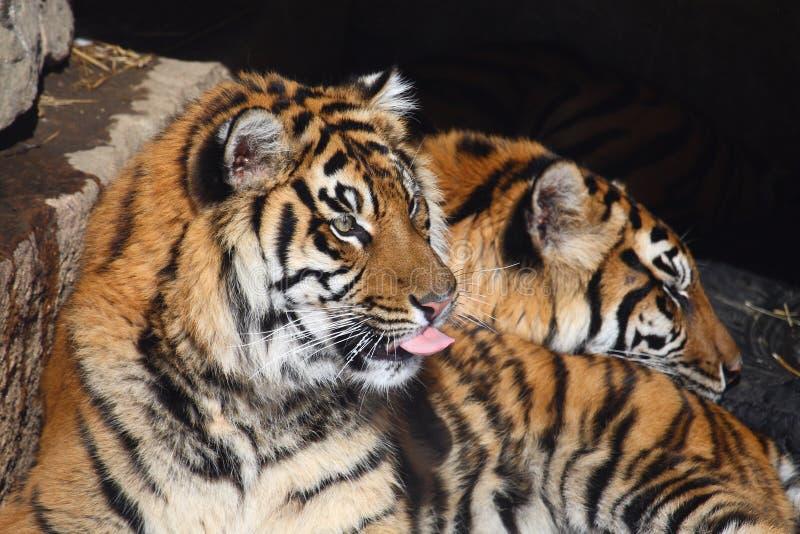 τίγρη ζευγών στοκ εικόνα με δικαίωμα ελεύθερης χρήσης