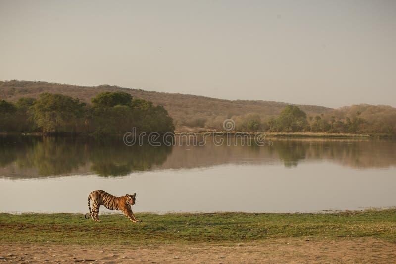 Τίγρη και λίμνη Rajbagh στοκ εικόνα