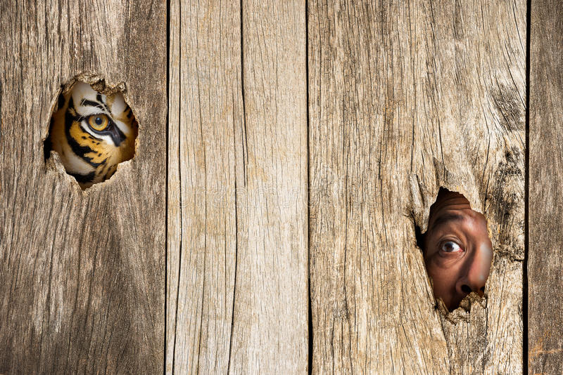 Τίγρη και ανθρώπινο μάτι στην ξύλινη τρύπα στοκ φωτογραφίες