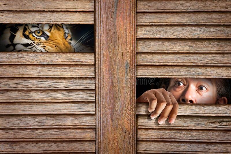 Τίγρη και ανθρώπινο μάτι στην ξύλινη τρύπα στοκ εικόνα