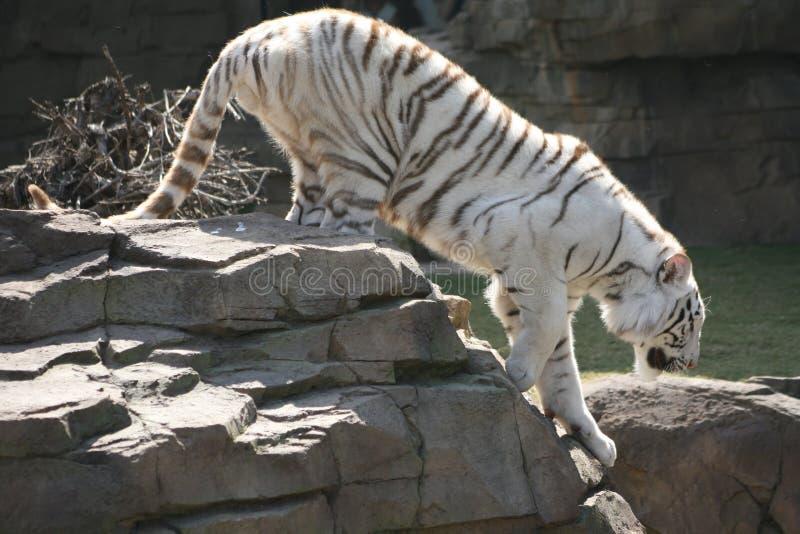 τίγρη καταδίωξης στοκ φωτογραφία με δικαίωμα ελεύθερης χρήσης
