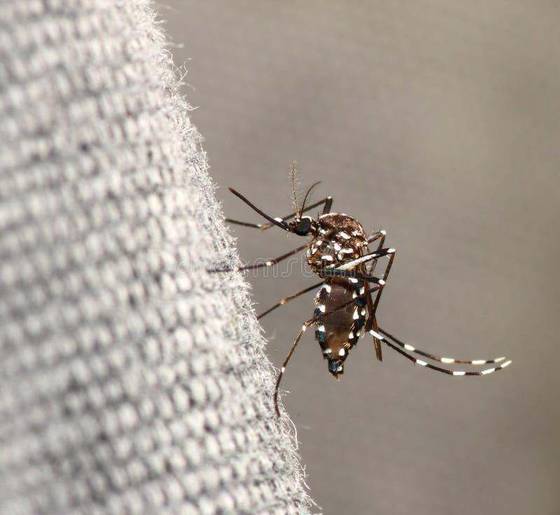 τίγρη κουνουπιών στοκ εικόνες