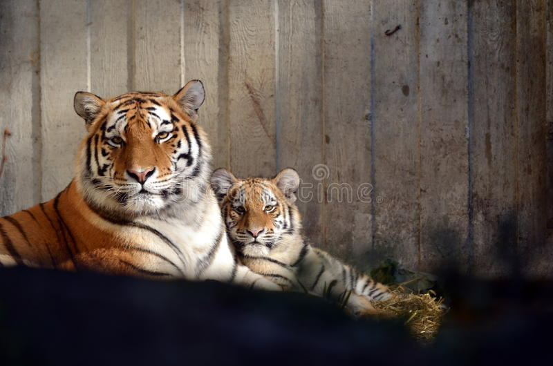 Τίγρη με τις νεολαίες στοκ εικόνες