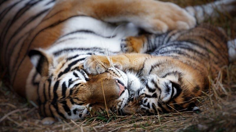 τίγρη με cub μητέρα και cub τιγρών στοκ φωτογραφία με δικαίωμα ελεύθερης χρήσης