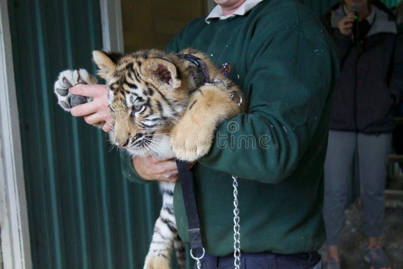 Τίγρη μωρών στοκ φωτογραφίες με δικαίωμα ελεύθερης χρήσης