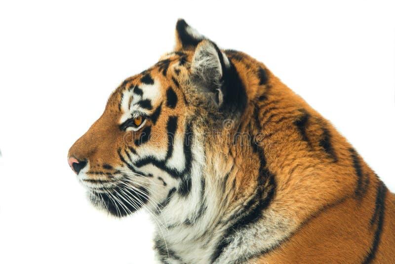 Τίγρη πορτρέτου που απομονώνεται στοκ εικόνα με δικαίωμα ελεύθερης χρήσης