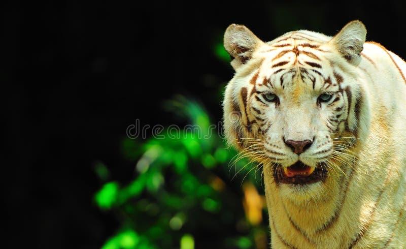 τίγρη πορτρέτου στοκ εικόνες
