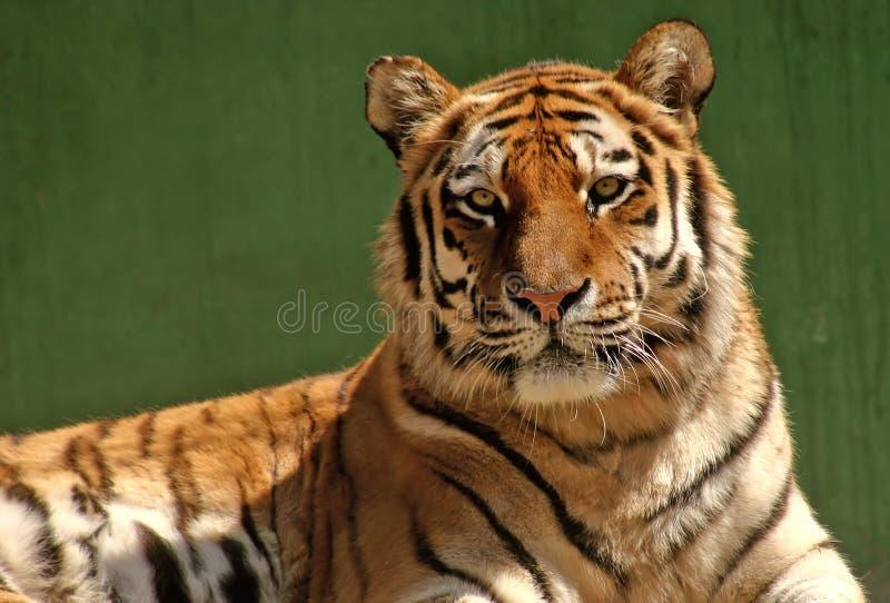 Download τίγρη πορτρέτου στοκ εικόνες. εικόνα από υπόλοιπο, αιλουροειδής - 57258