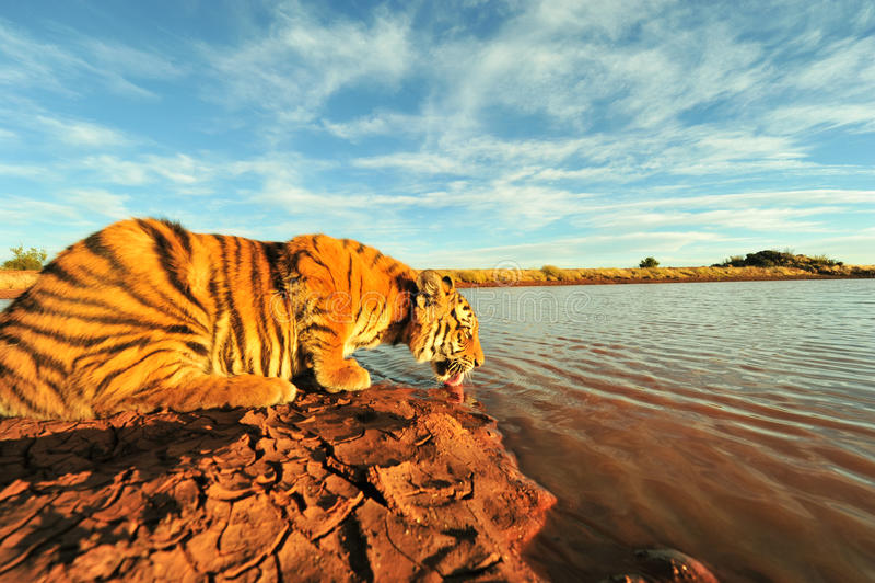 Τίγρη που έχει ένα ποτό στοκ εικόνες