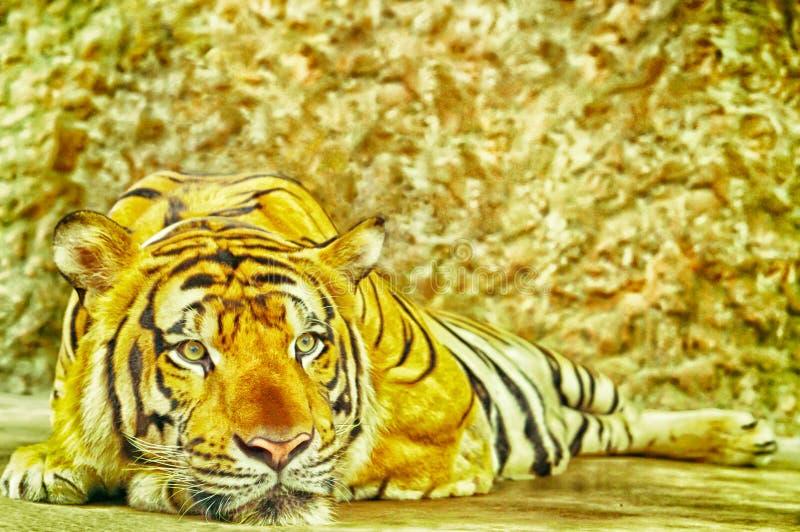 Τίγρη που καθορίζει στο πάτωμα που φαίνεται κάτι στοκ φωτογραφίες