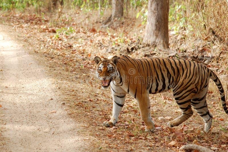 Τίγρη που περπατά στο δάσος στοκ φωτογραφία με δικαίωμα ελεύθερης χρήσης