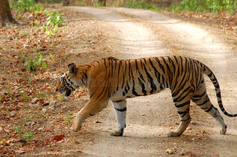Τίγρη που περπατά στο δάσος στοκ εικόνα