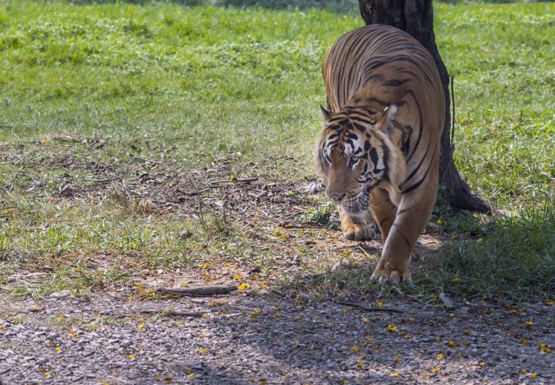 Τίγρη που περπατά στο κυνήγι στοκ εικόνες
