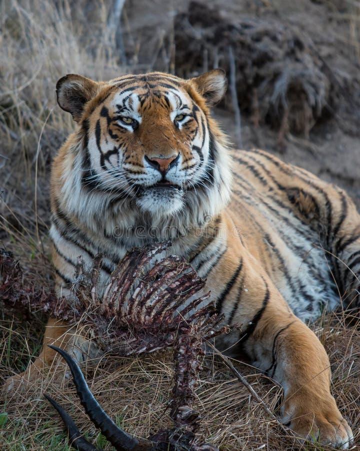 Τίγρη που στην επιφύλαξη παιχνιδιού στη Νότια Αφρική στοκ φωτογραφία
