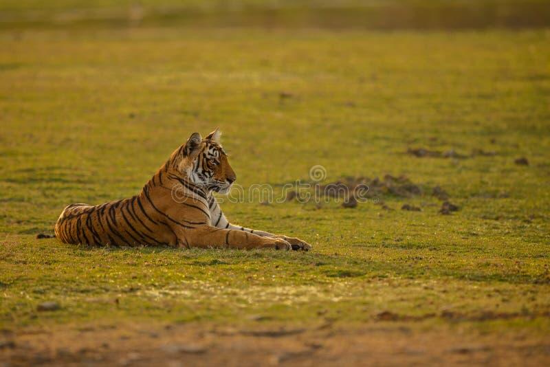 Τίγρη σε ένα όμορφο φως πρωινού στοκ εικόνες