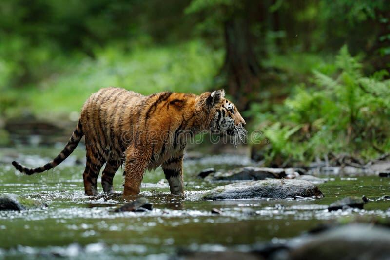 Τίγρη στον ποταμό Σκηνή άγριας φύσης δράσης τιγρών, άγρια γάτα, βιότοπος φύσης τρεχούμενο νερό τιγρών Ζώο κινδύνου, tajga στην Κί στοκ φωτογραφίες με δικαίωμα ελεύθερης χρήσης
