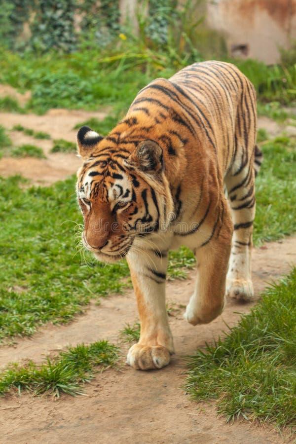 Τίγρη στο ζωολογικό κήπο στο Αννόβερο στοκ φωτογραφία