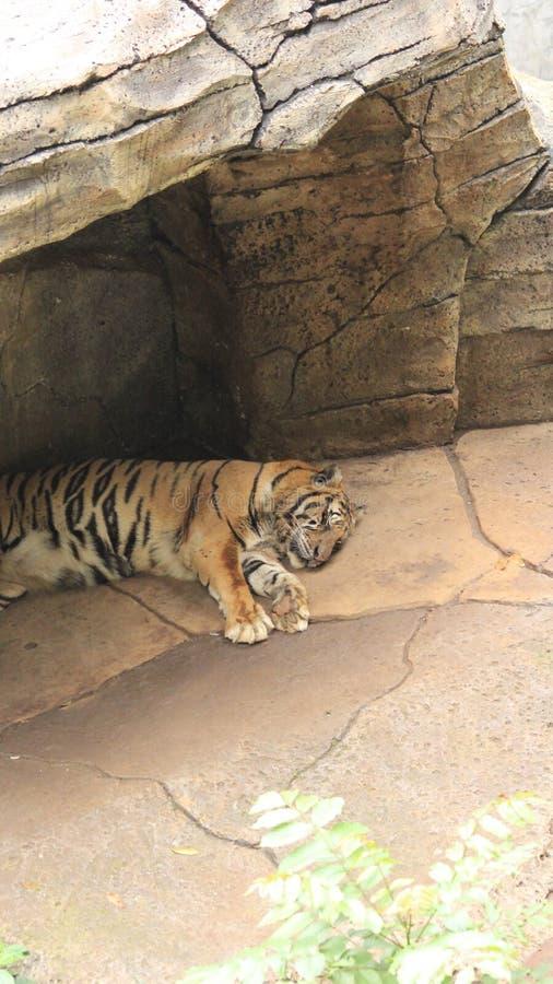Τίγρη στο ζωολογικό κήπο στοκ φωτογραφία
