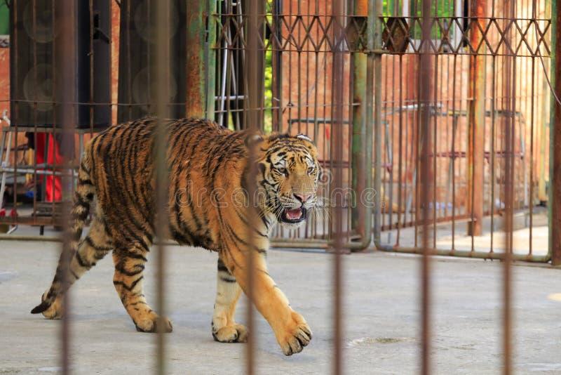 Τίγρη στο ζωολογικό κήπο στοκ εικόνες