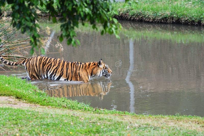 Τίγρη στο νερό στοκ εικόνα με δικαίωμα ελεύθερης χρήσης