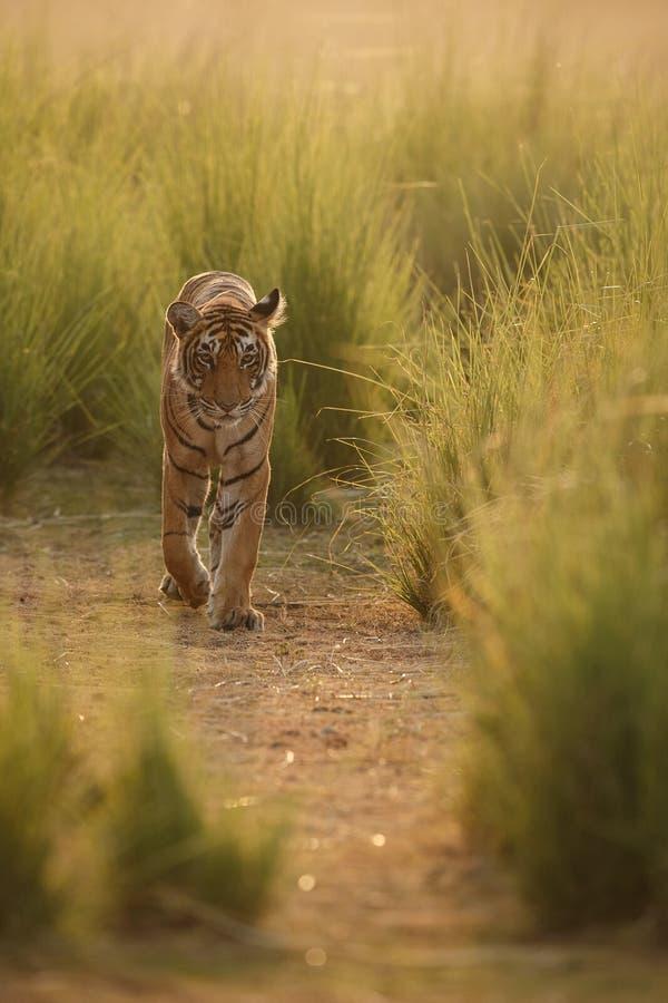 Τίγρη στο φως πρωινού στοκ εικόνες