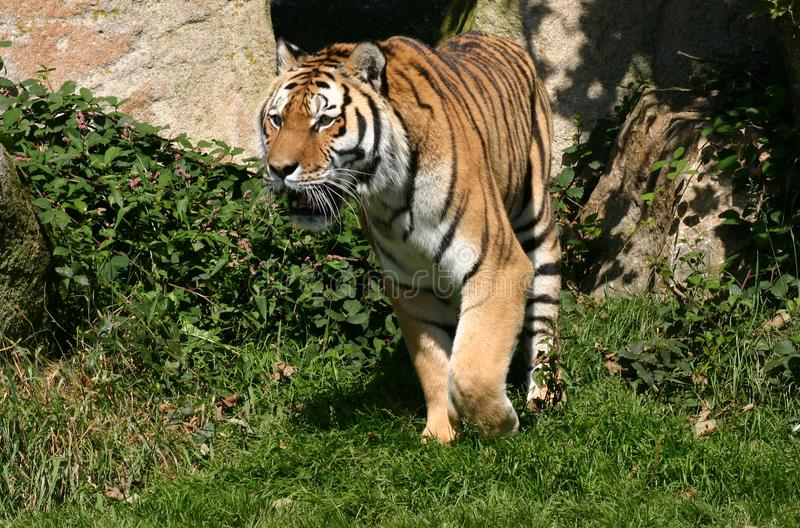 Τίγρη στο Prowl στοκ εικόνες με δικαίωμα ελεύθερης χρήσης