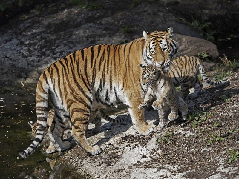 τίγρη Τίγρης panthera altaica amur στοκ φωτογραφία με δικαίωμα ελεύθερης χρήσης