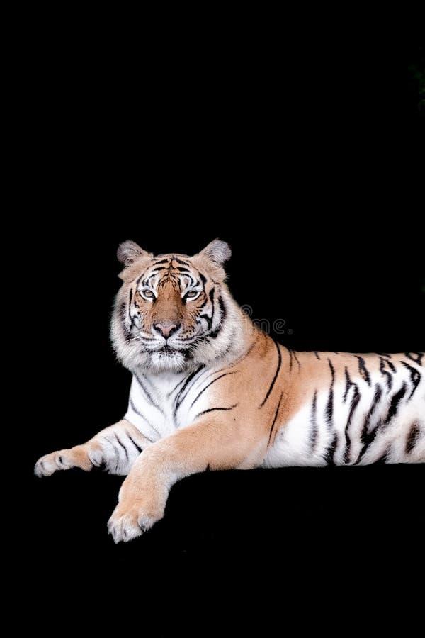 Τίγρη της Βεγγάλης στο δάσος που απομονώνεται στο μαύρο υπόβαθρο στοκ εικόνα