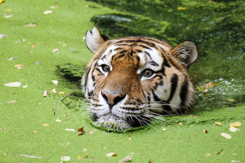 Τίγρη της Βεγγάλης στο νερό στοκ εικόνες