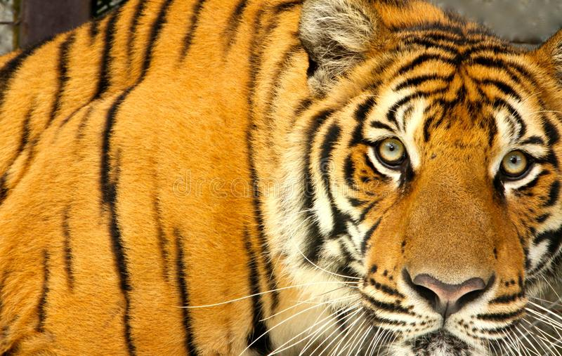 Τίγρη της Ταϊλάνδης στοκ φωτογραφία με δικαίωμα ελεύθερης χρήσης