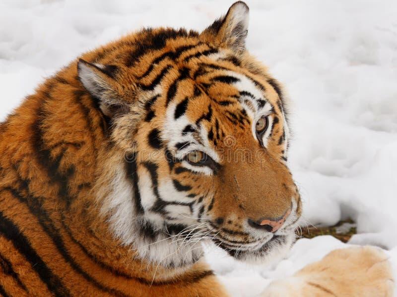 τίγρη χιονιού στοκ φωτογραφίες με δικαίωμα ελεύθερης χρήσης