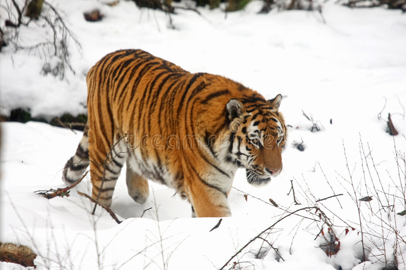 τίγρη χιονιού στοκ εικόνα με δικαίωμα ελεύθερης χρήσης