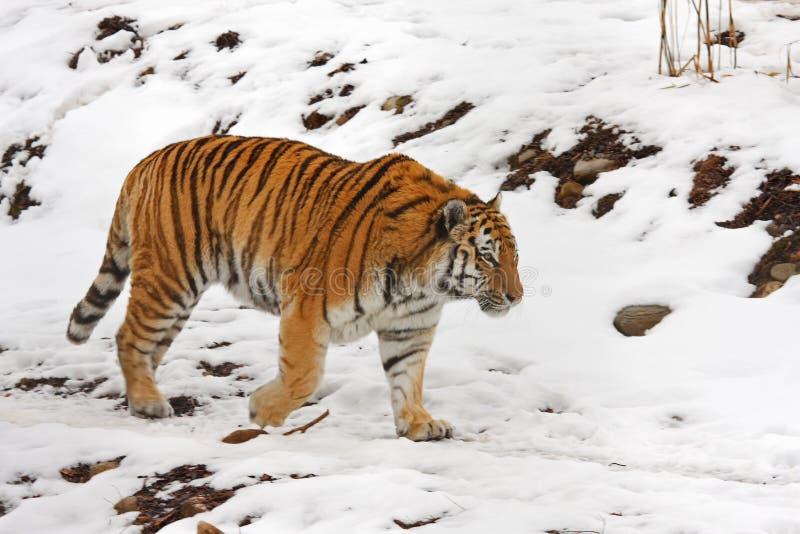 τίγρη χιονιού στοκ φωτογραφία με δικαίωμα ελεύθερης χρήσης