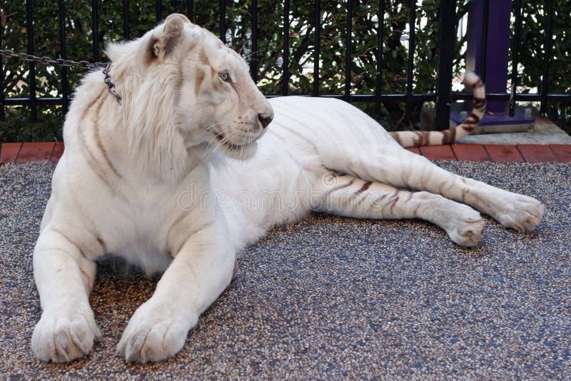Download τίγρη στοκ εικόνες. εικόνα από σιβηρικά, τίγρη, χλόη, down - 525222