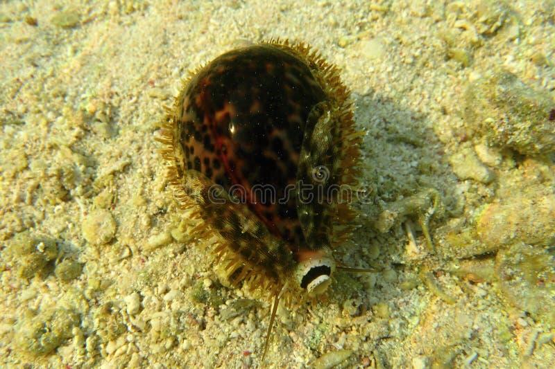 Τίγρη Cowrie - Cypraea Τίγρης, στη Ερυθρά Θάλασσα σε Marsa Alam Αίγυπτος στοκ εικόνα με δικαίωμα ελεύθερης χρήσης