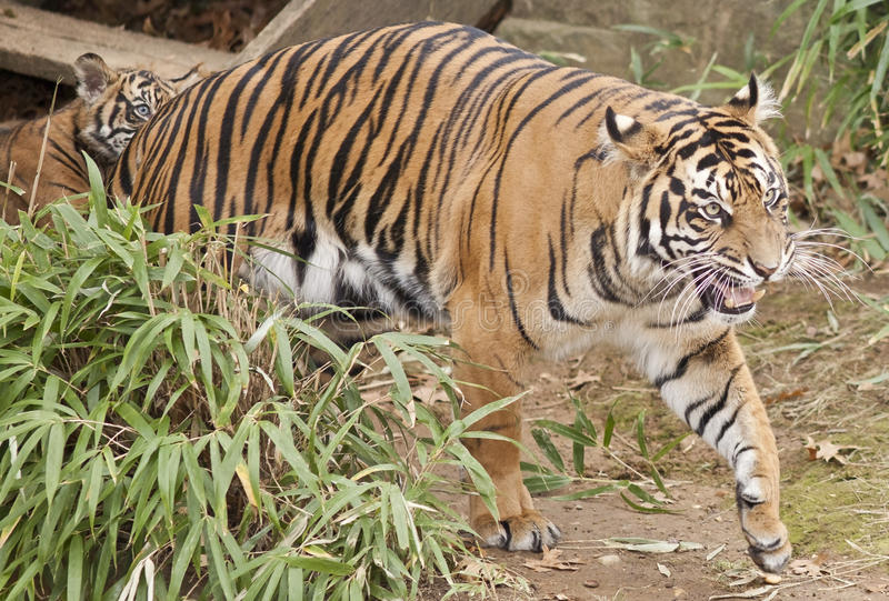 Τίγρη Sumatran και Cub της στοκ φωτογραφία με δικαίωμα ελεύθερης χρήσης