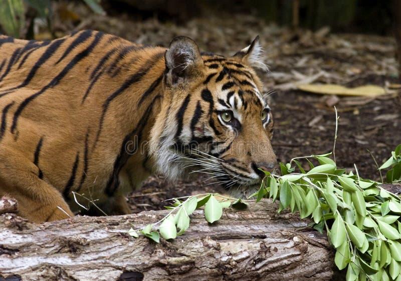τίγρη sumatran στοκ φωτογραφία με δικαίωμα ελεύθερης χρήσης