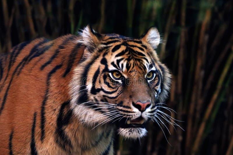 Τίγρη Sumatran στοκ φωτογραφίες με δικαίωμα ελεύθερης χρήσης