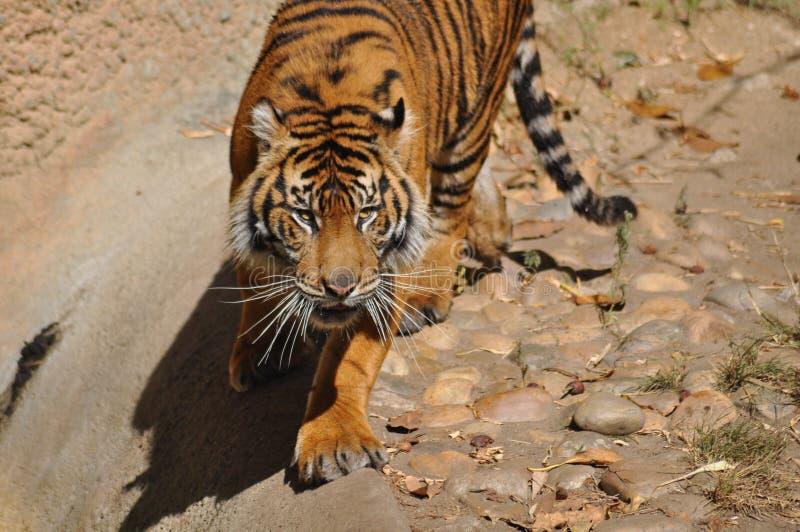 Τίγρη, Sumatran στοκ εικόνα