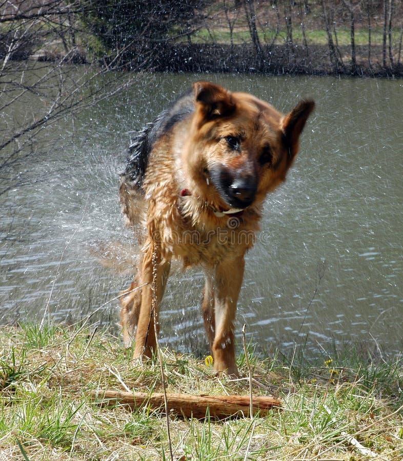 τίναγμα σκυλιών υγρό στοκ φωτογραφίες