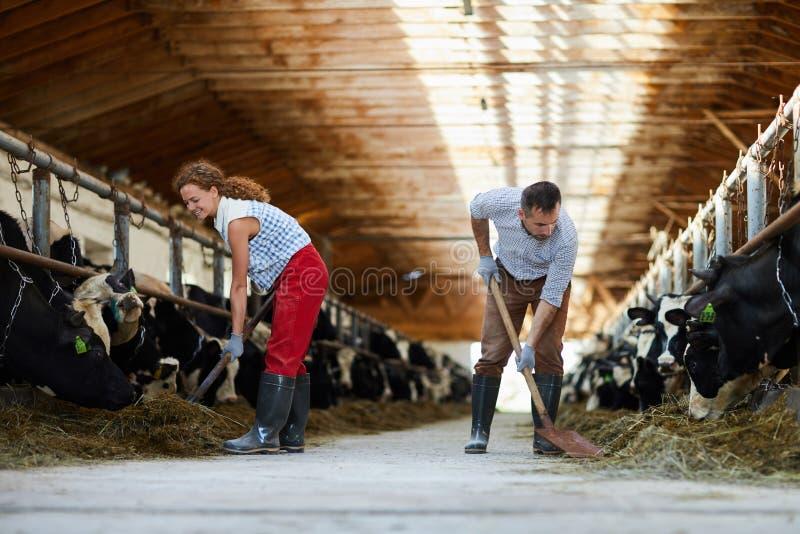 Ταΐζοντας αγελάδες με το σανό στοκ εικόνες