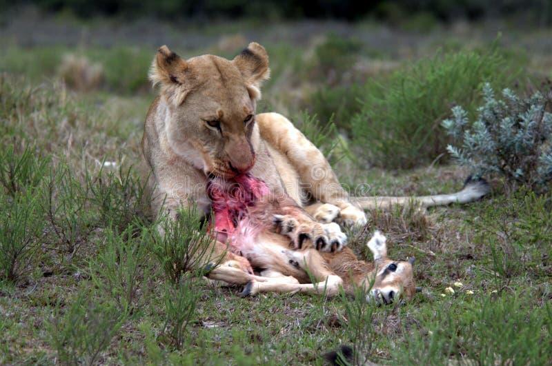 ταΐζοντας λιονταρίνα στοκ φωτογραφίες με δικαίωμα ελεύθερης χρήσης
